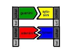 Emäksiset aminohapot